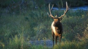 A rise in the elk population has led Oklahoma wildlife officials to consider expanding hunting opportunities. Image courtesy US Fish and Wildlife Service