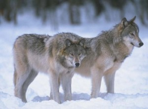 Since Michigan's current wolf season began in mid-November, 19 of the allotted 43 wolves have been harvested.