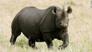 140111134440-black-rhinosaurus-kenya-story-top