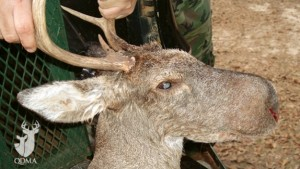 A picture of this strange deer was submitted to QDMA shortly after it was harvested. Image courtesy the QDMA