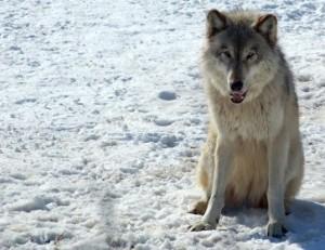 777px-Gray_Wolf_in_Minnesota_2-400x308