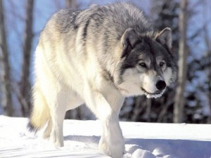 New hunting changes and a bill to fund wolf management in Idaho have animal rights advocates howling. Image from Chris Muiden on the Wikipedia Commons