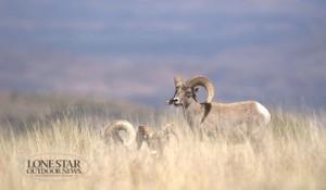 BIG-HORN-SHEEP-TXI-2-4431-600x350