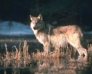 There are now an estimated 6,100 gray wolves in the Lower 48 states, back from the handful in 1960. Image courtesy USFWS