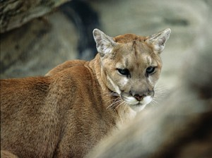 This year could host Nebraska's first and last mountain lion season if a new bill banning the season is signed into law. Image courtesy Nebraska Game and Parks Commission