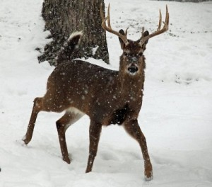 The prevalence of CWD in central Wisconsin is increasing.