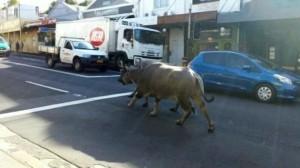 Two water buffalo run down King St in Sydney.