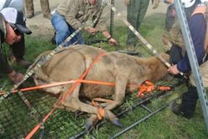 tule-elk-conservation-M