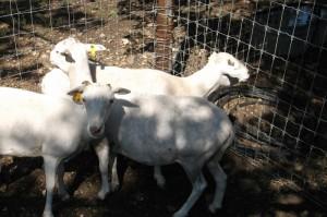 3 tx dall ewes