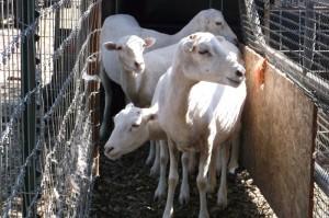 4 tx dall ewes