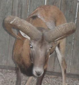 RED SHEEP RAM 2