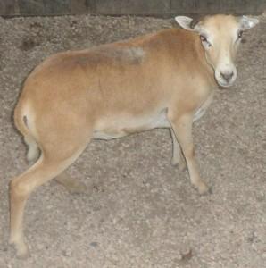 corsican ewe #1