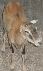 corsican ewe #2