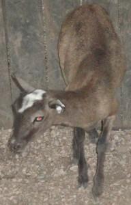 corsican ewe #3