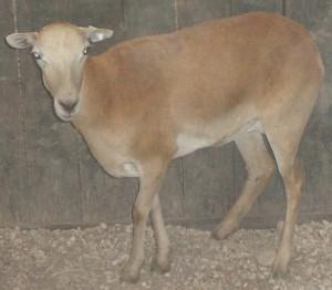 corsican ewe #4