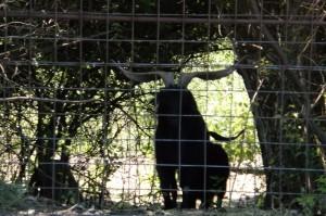giant black spanish goat billy