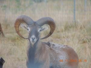 mouflon, pure