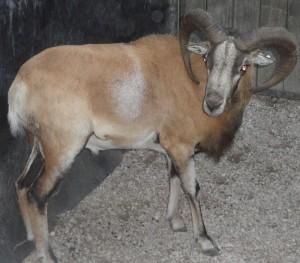 mouflon ram 4
