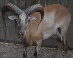 mouflon ram 5