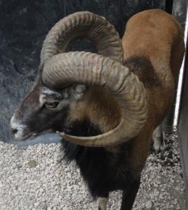mouflon1