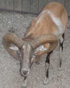 red sheep ram