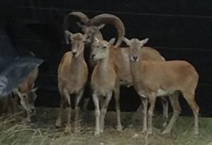 1.4 red sheep