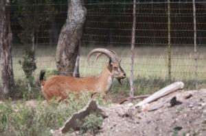 hybrid ibex lot c