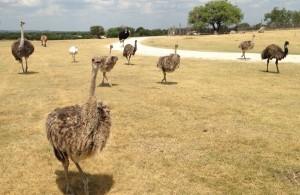 ostrich cicks